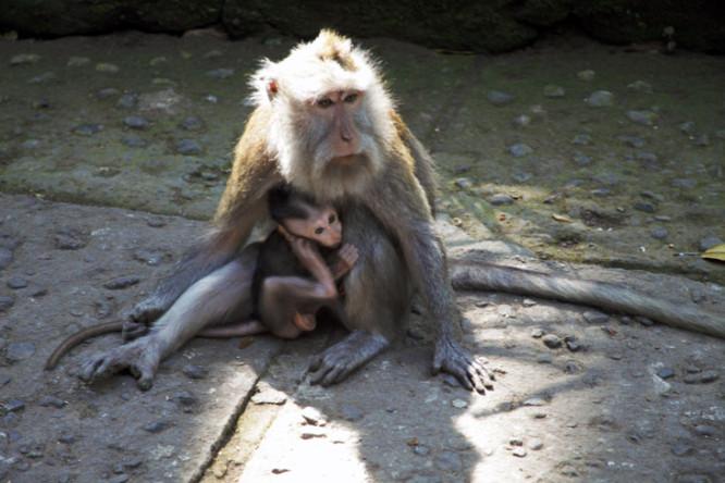 Monkey Sanctuary in Ubud, Bali
