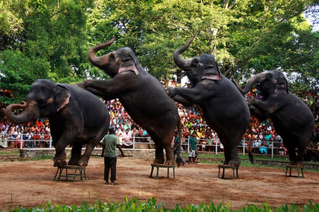 Elephants performing in Sri Lanka for human entertainment. What a miserable life.