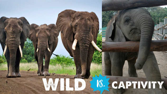 Wild vs. Captivity: Stop Visiting Animal Attractions