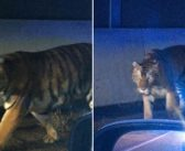 Tiger Escape in Atlanta – The REAL Issue Nobody is Talking About