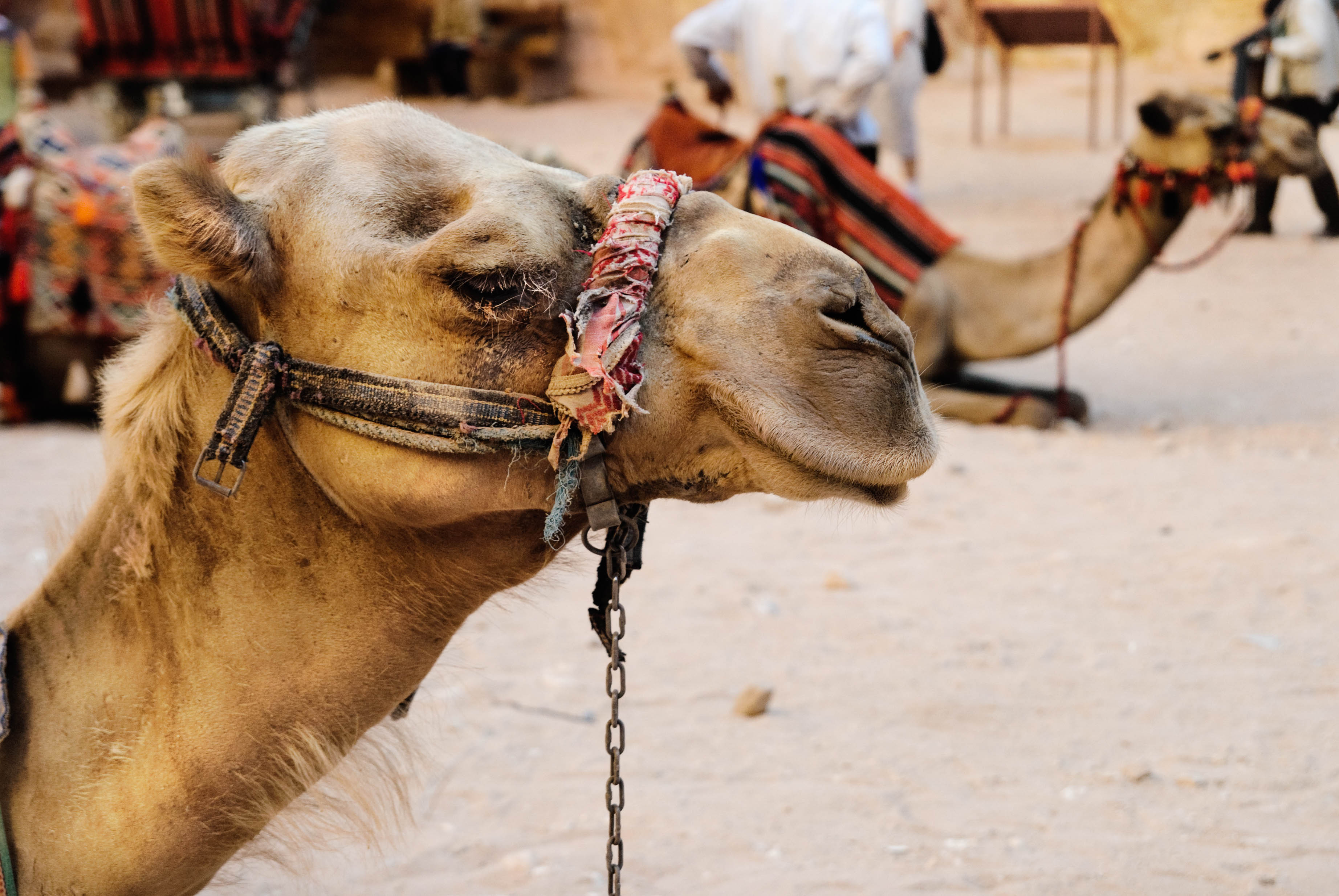Is Camel Riding Ethical? | Sustainable Travel in Egypt