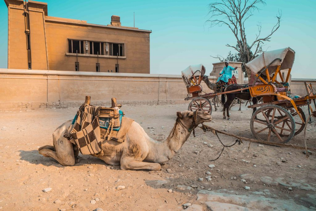 Is camel riding ethical? | Camel Abuse
